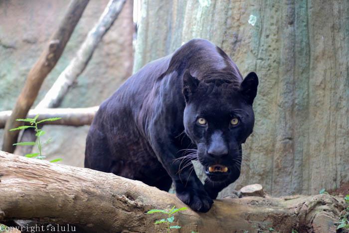 ジャガー 日本平動物園