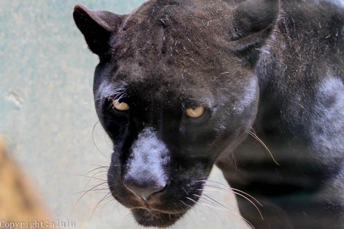 黒 ジャガー 画像