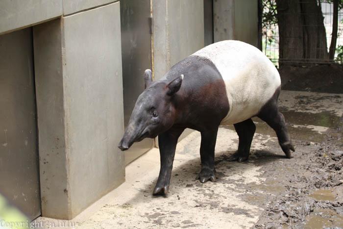 日本平動物園 マレーバク