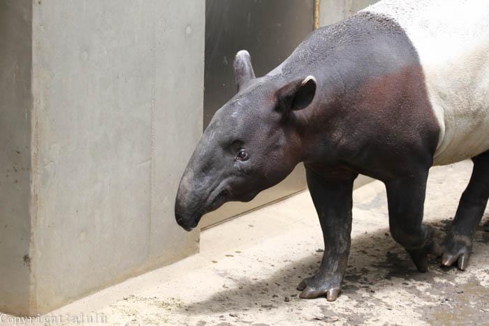マレーバク 日本平動物園