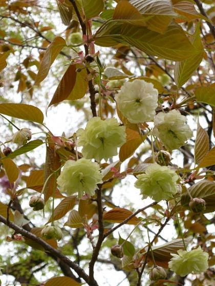 450px-Prunus_lannesiana_Sumaura-fugenzo01.jpg