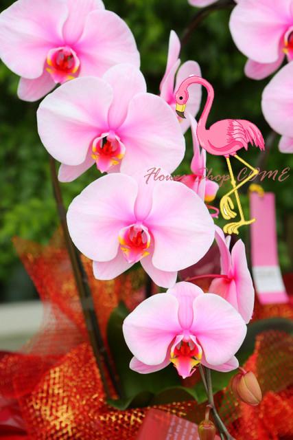 かわいい 鉢物 蘭