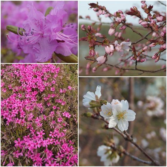 150429観月苑の花