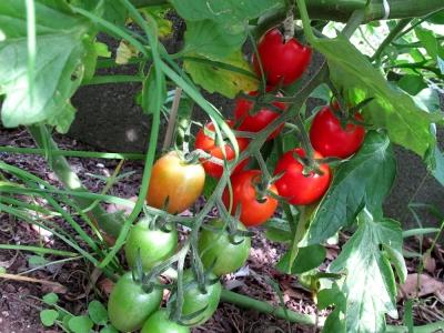 家庭菜園 ミニトマト