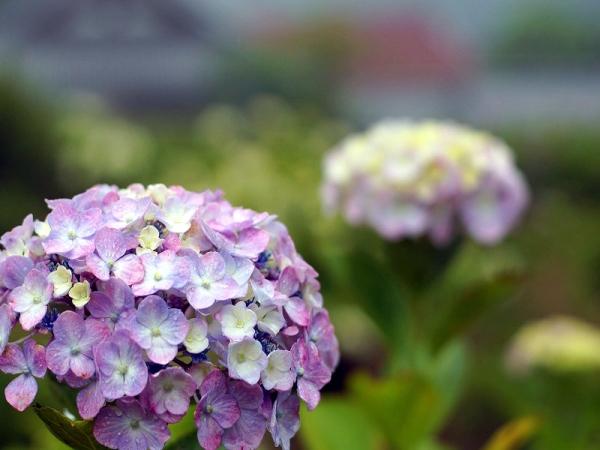紫陽花青03