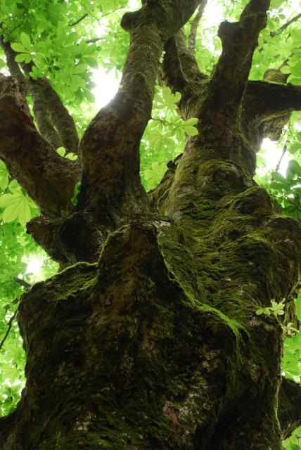 蘇武岳_巨樹の谷_コケに覆われたトチの樹