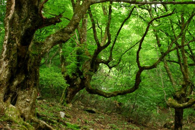蘇武岳_巨樹の谷(新緑)