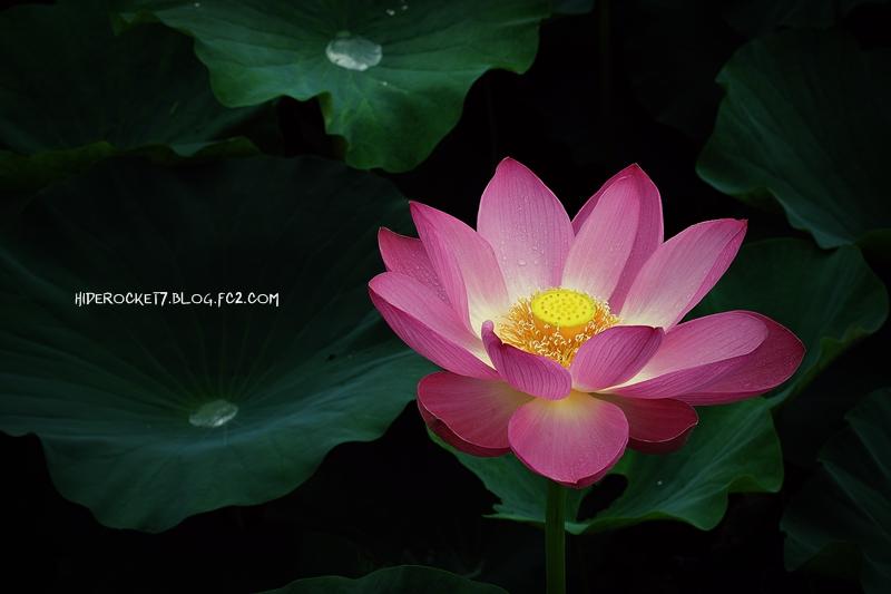 lotus-2015-02-800.jpg