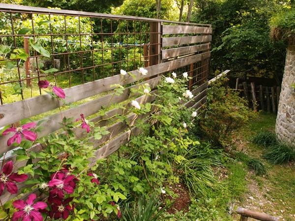 フェンスに咲くマダム・アルフレッド・キャリエールとニオベ