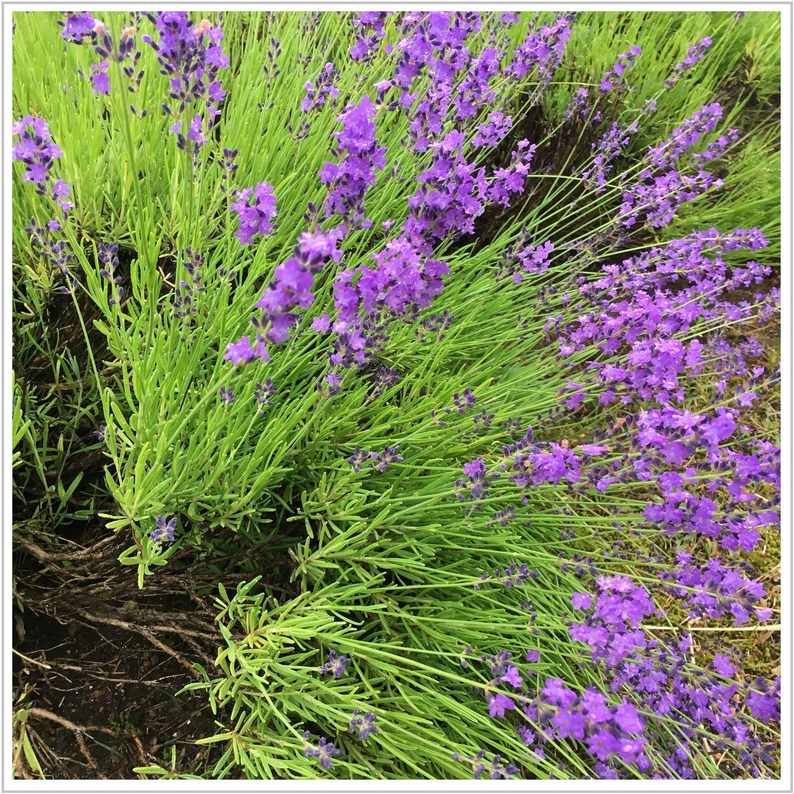 lavender_13_717.jpg