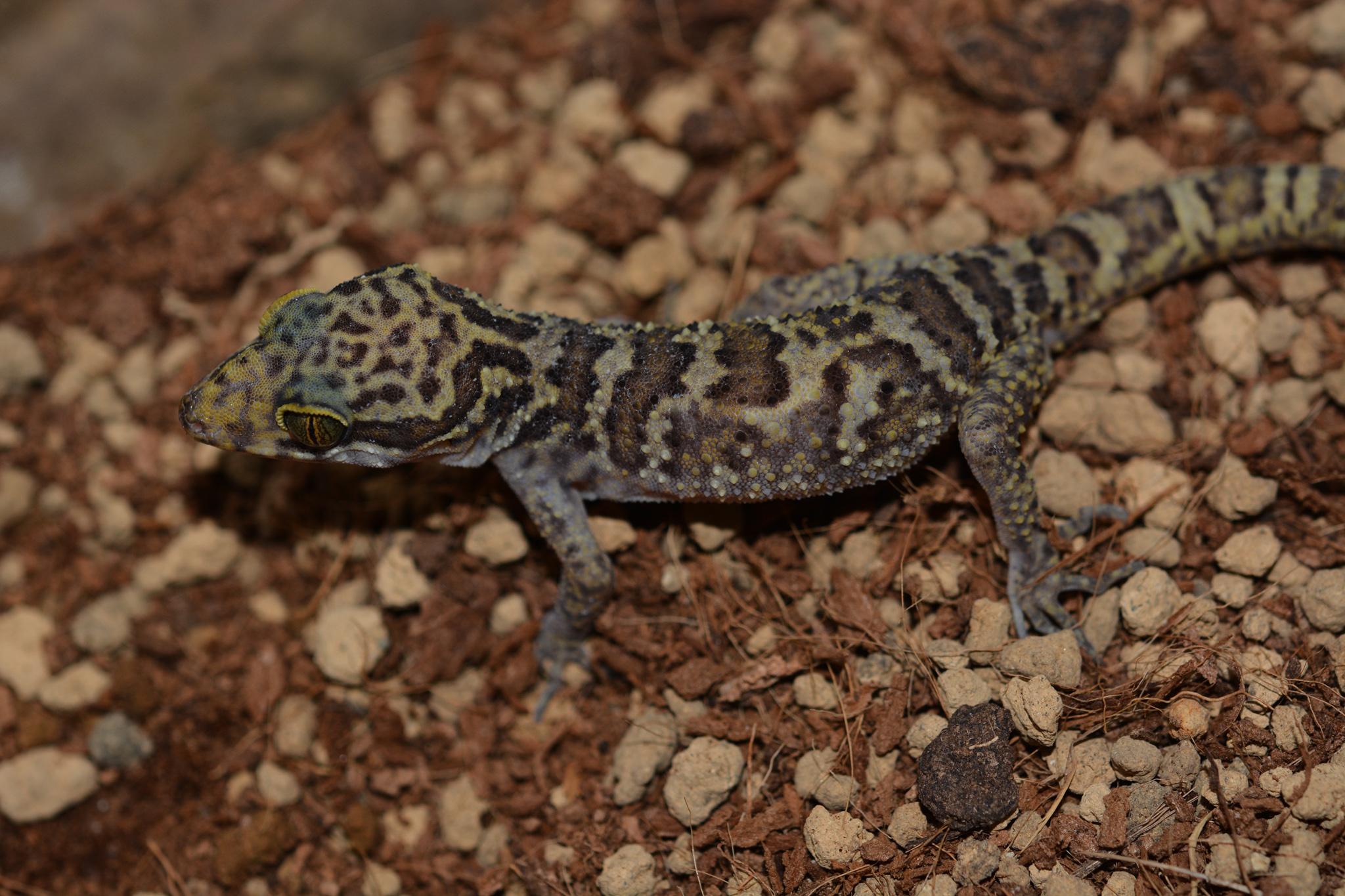 cyrtodactylus_condorensis_male01.jpg