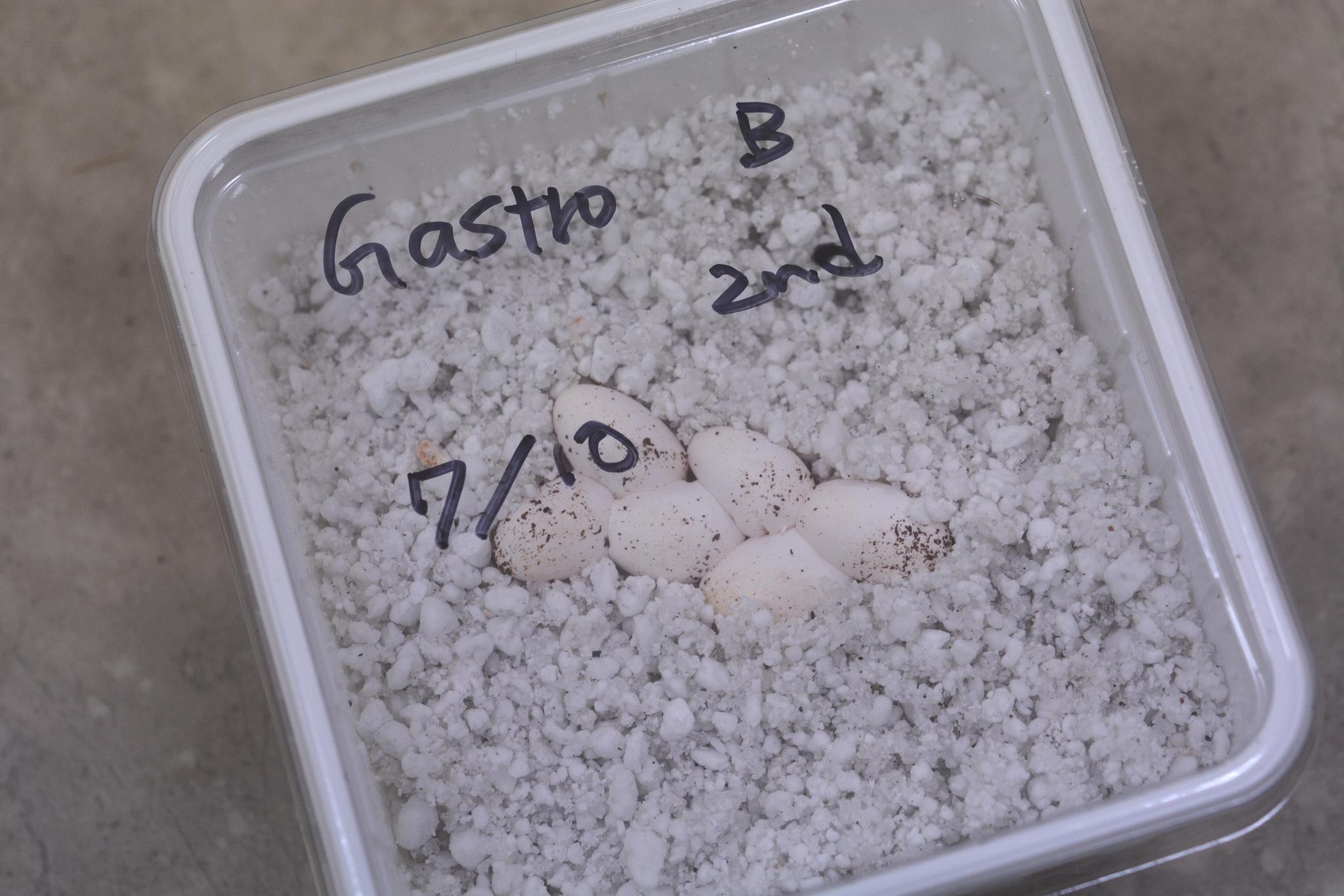 gastropholisprasina_eggs02.jpg