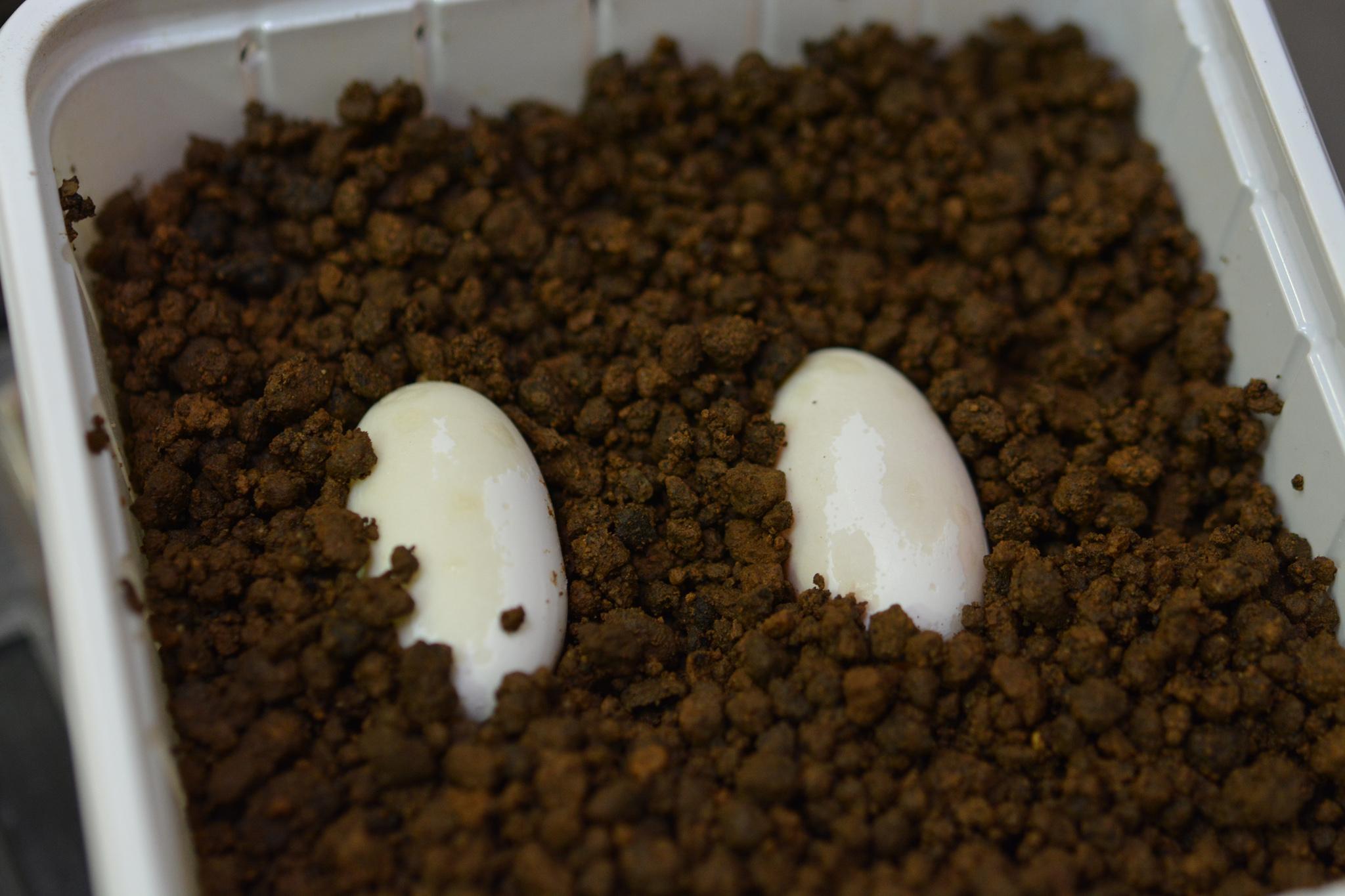 leachianus_eggs01.jpg