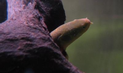 アミメウナギ