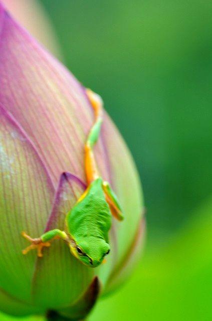 雨蛙よなにおもふ