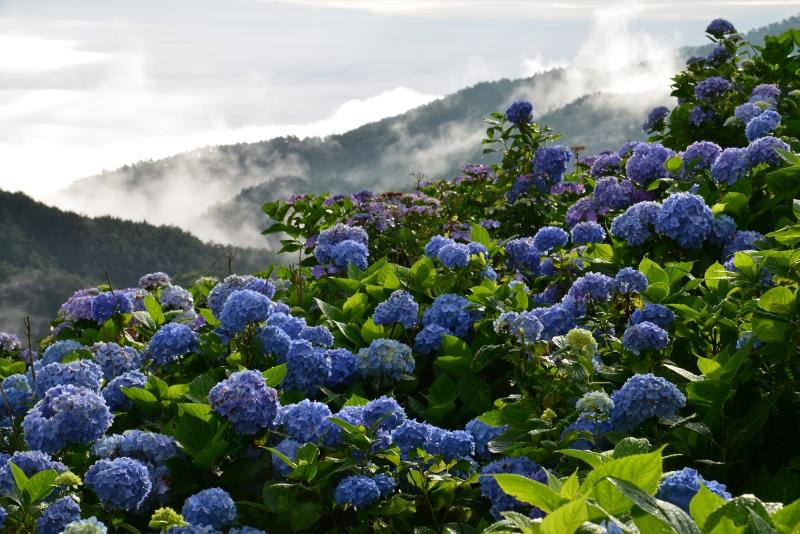 「アジサイ咲く高原4」
