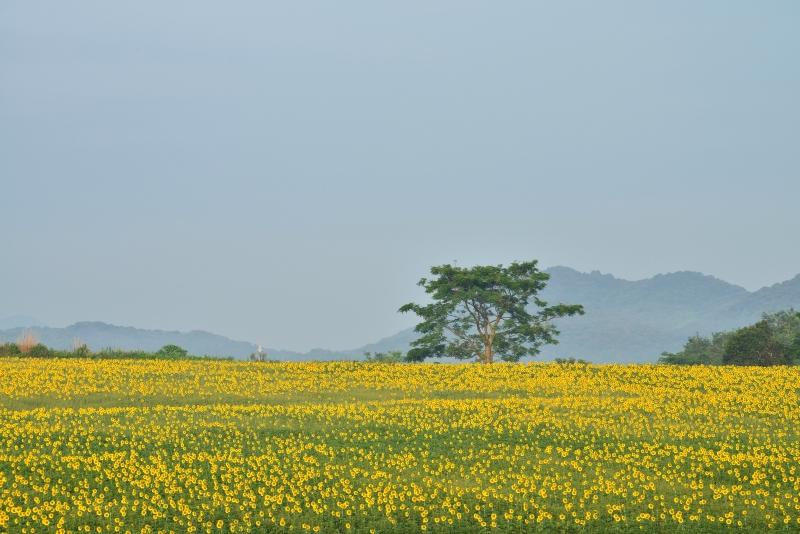 「向日葵の丘」3