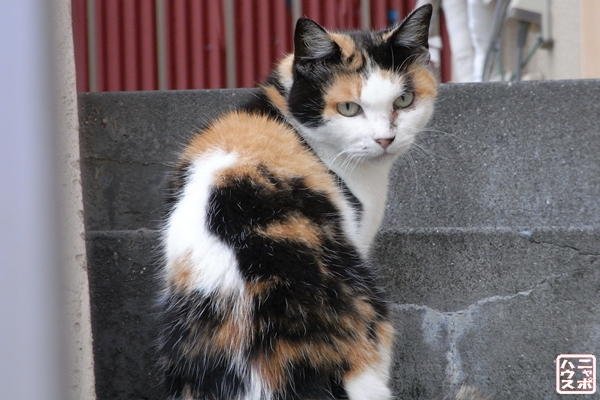 美形な三毛猫さん♪
