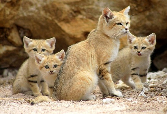 sand-cats01.jpg