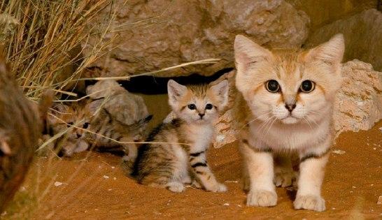 sand-cats02.jpg