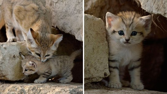 sand-cats03.jpg