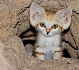sand-cats05.jpg