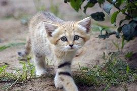 sand-cats06.jpg