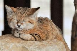 sand-cats09.jpg