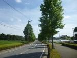 道路街路樹「モミジバフウ」