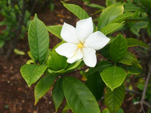 20150628・東大和植物16・クチナシ