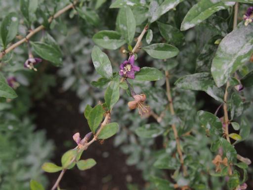 20150628・東大和植物22・クコ